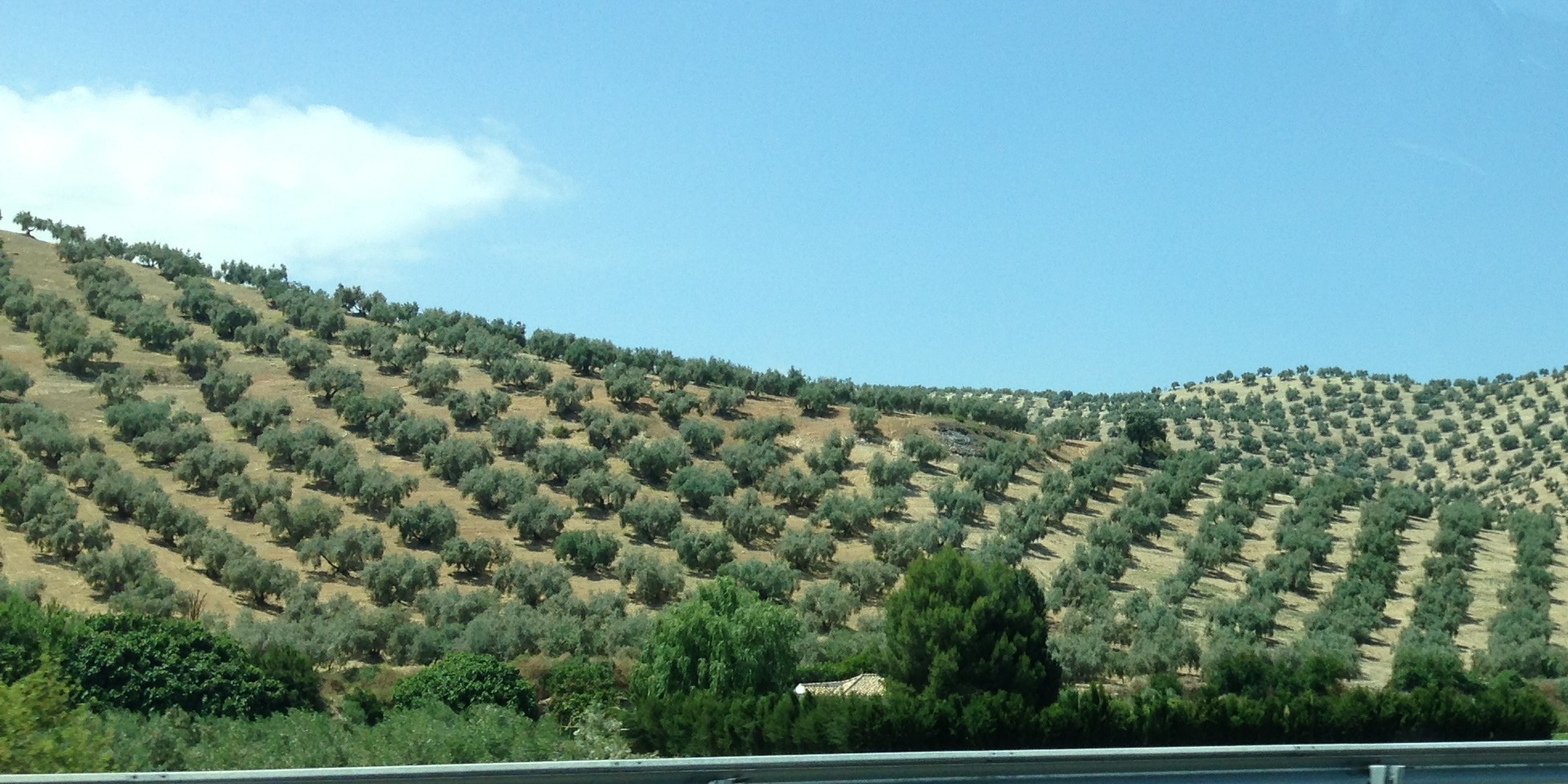 Andalucia's olive fields - looked liked gorgeous striped cloth from afar